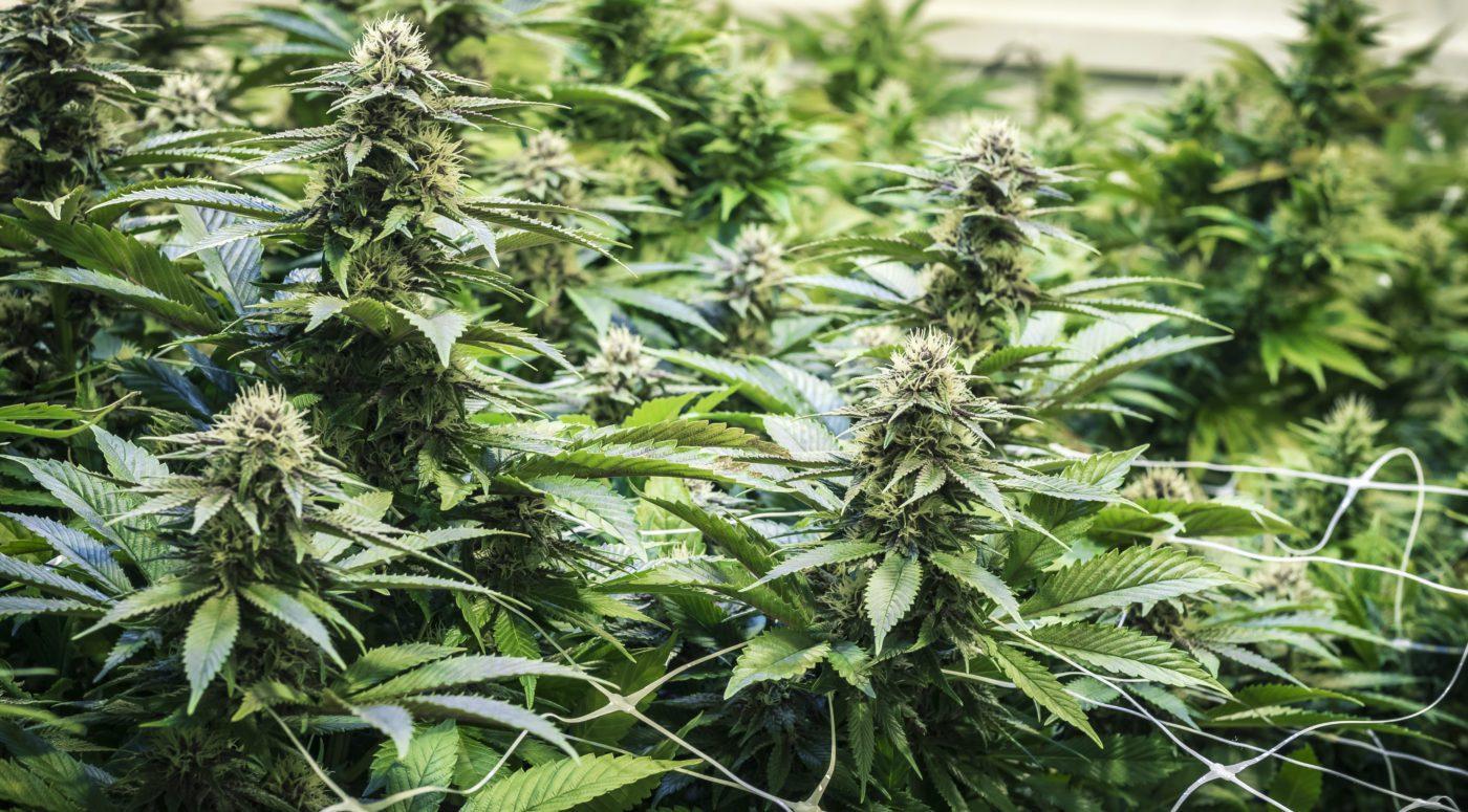 cannabis cultivation